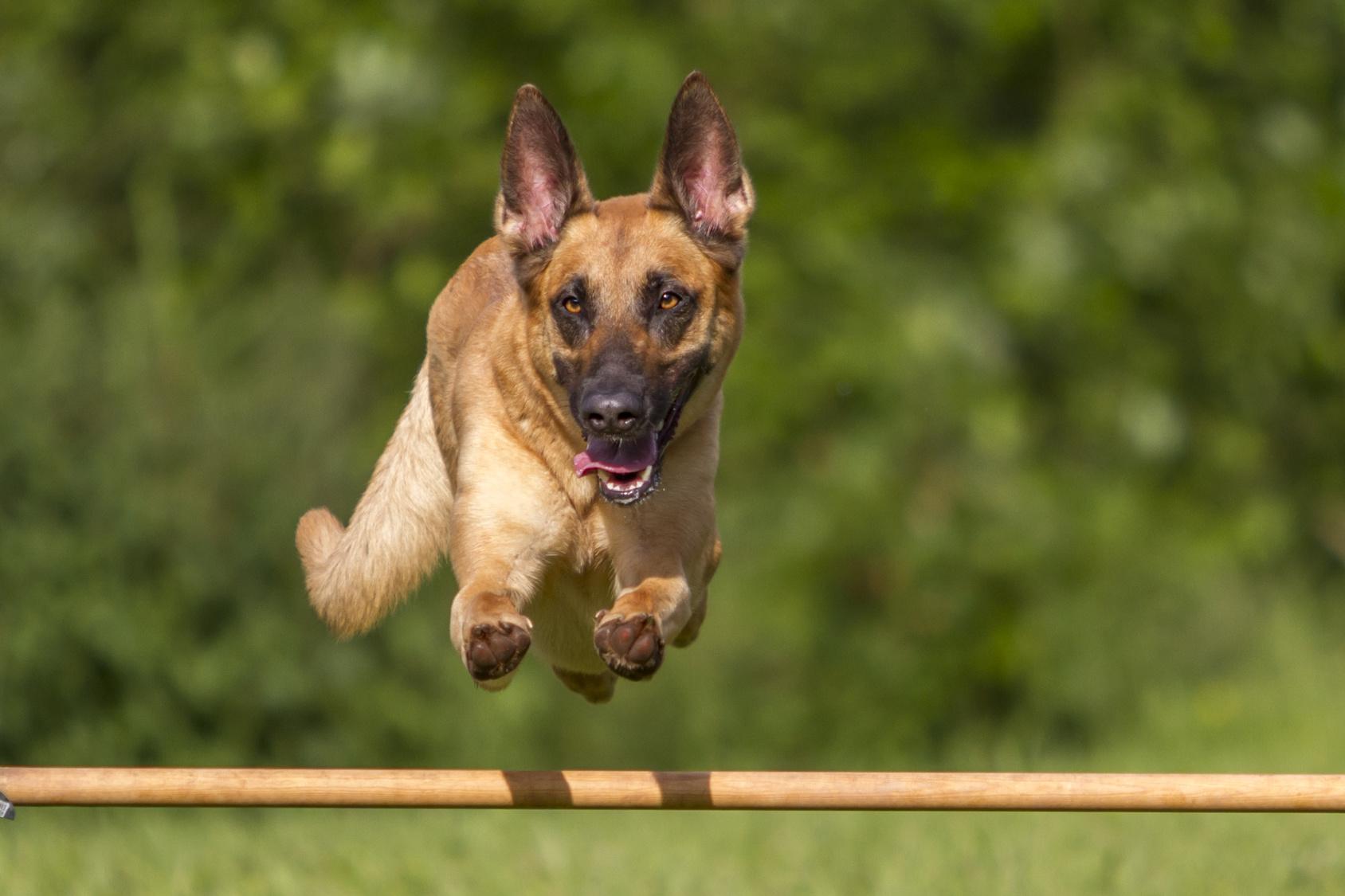 Agility - Malinois beim Sprung über Hürde